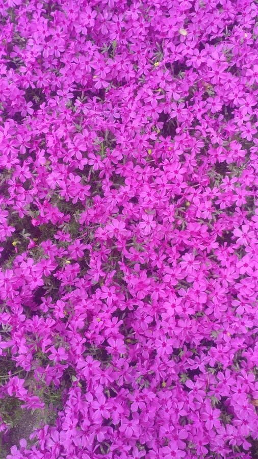 Phlox rose lumineux de rampement photo stock