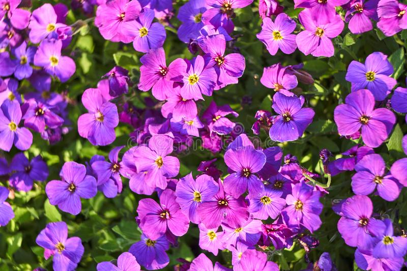 Phlox - small, blue ornamental flowers royalty free stock images