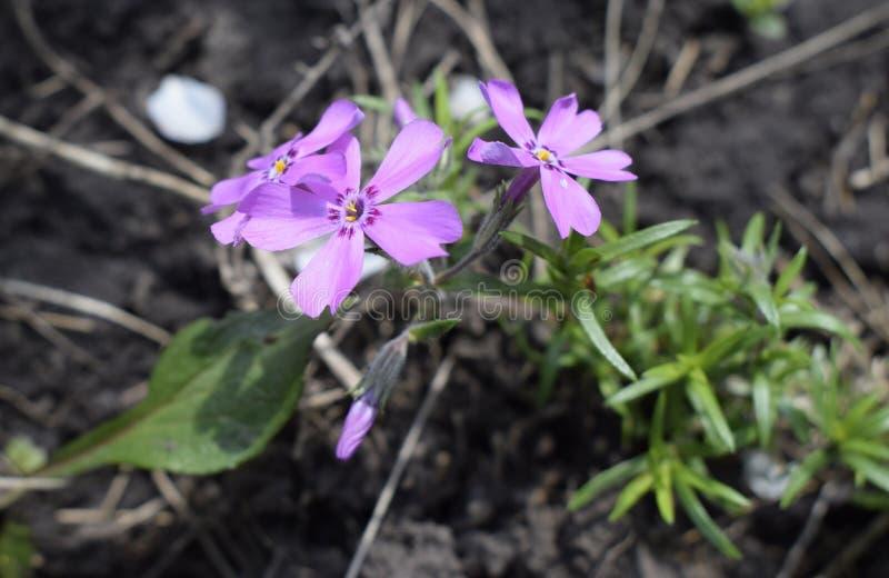 Phlox styloïde De petites fleurs de printemps violettes dans le jardin tout près photos libres de droits