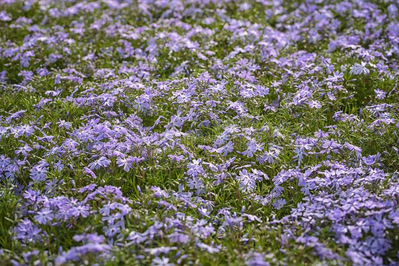 Phlox subulata, creeping phlox, mountain phlox. The small, five-petaled flowers bloom in blue. Phlox subulata, creeping phlox, moss phlox, mountain phlox. The stock photos