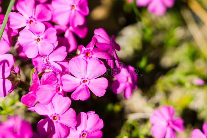 Phlox subulata roze bloem stock foto