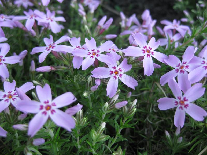 Phlox-subulate blooms pale pink flowers with purple spots in the center of the flower. Phlox-ground cover of subulata that blooms in the spring. Delicate royalty free stock images