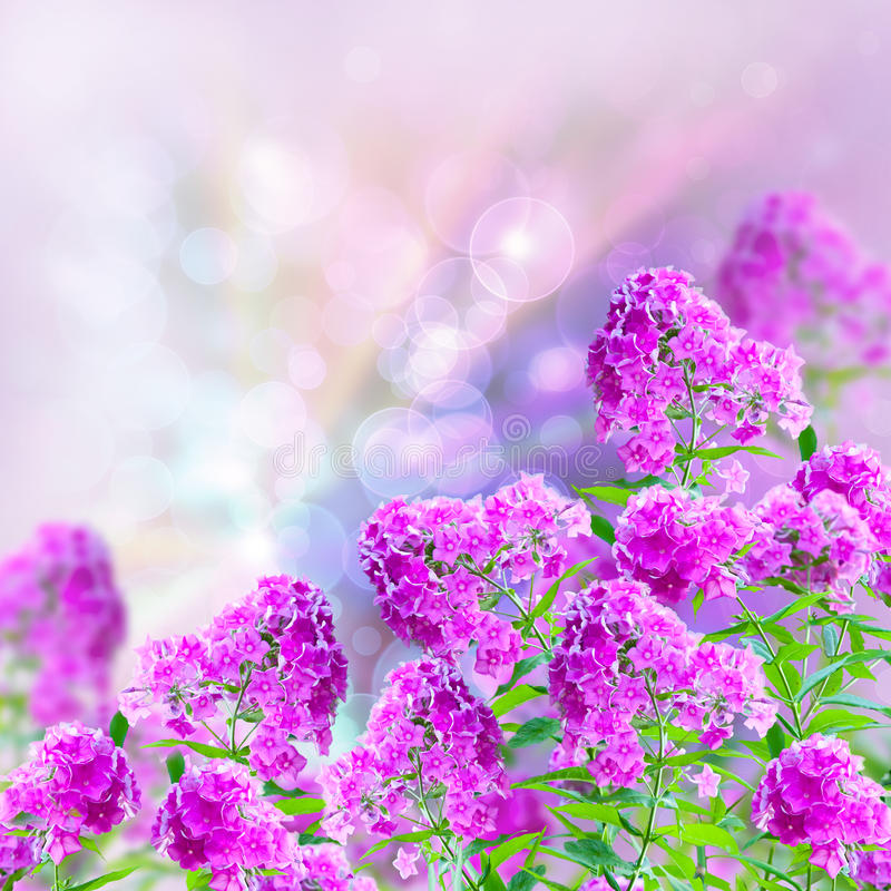 Download Phloxes stock photo. Image of plant, magenta, celestial - 27558226