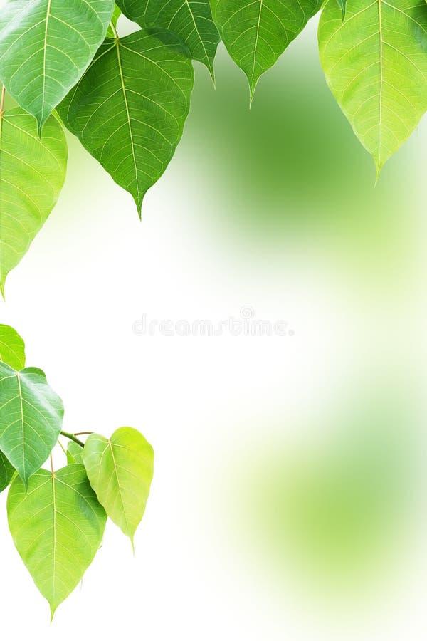 Pho lub bodhi liść zdjęcie stock