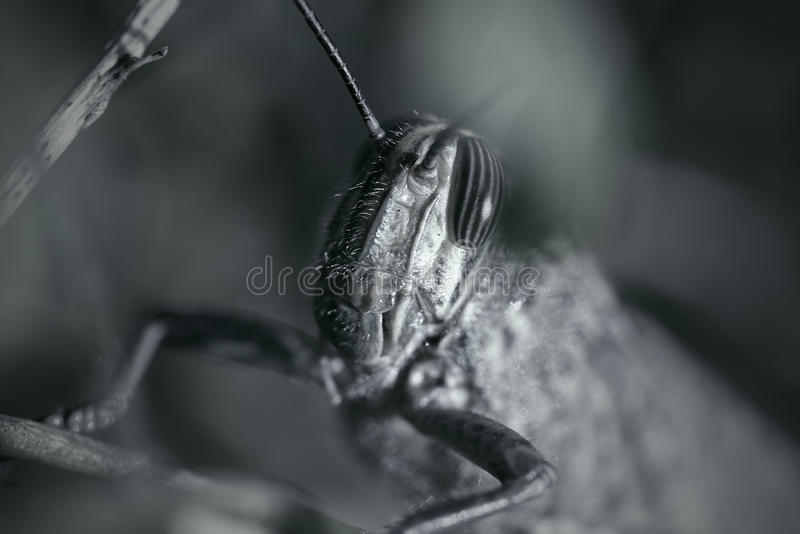 Phobie profonde de sauterelle images libres de droits