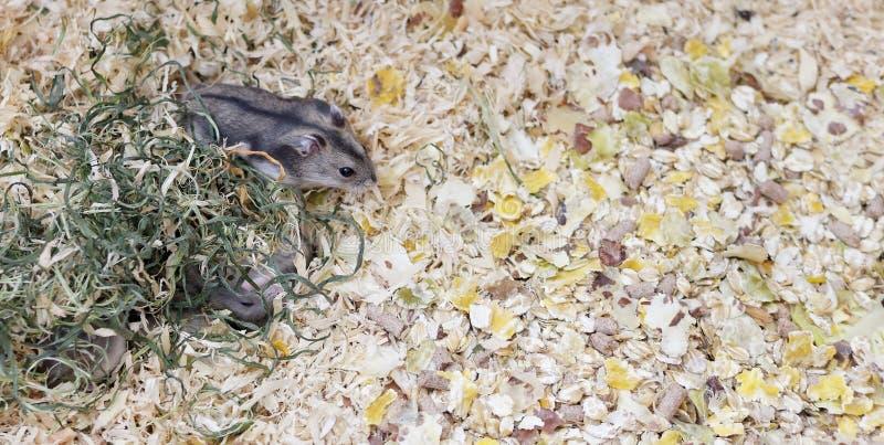 Phodopus sungorus Jungar-Hamster in einem Käfig lizenzfreies stockfoto