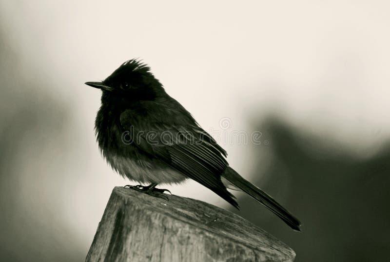phoebe鸟的画象 免版税库存图片