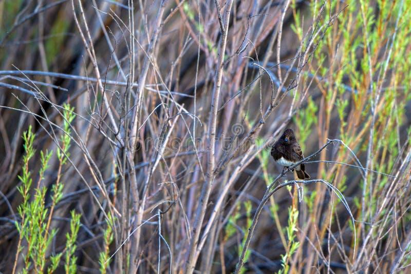 Phoebe nero nella riserva di Bosque del Apache National nel New Mexico fotografia stock