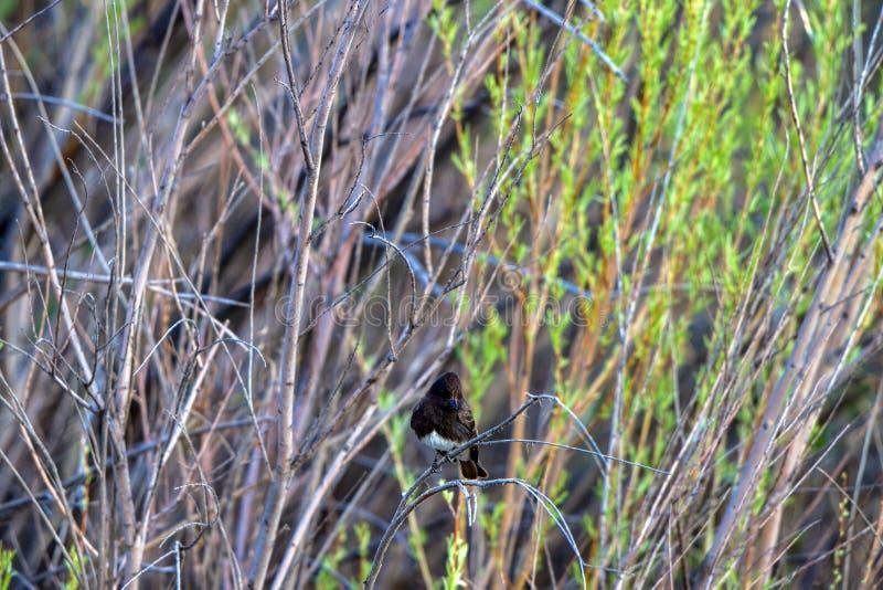 Phoebe nero in un cespuglio nella palude alla riserva di Bosque del Apache National nel New Mexico immagini stock