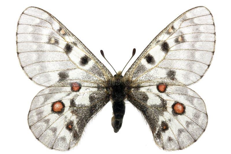 Phoebus van Parnassius royalty-vrije stock foto