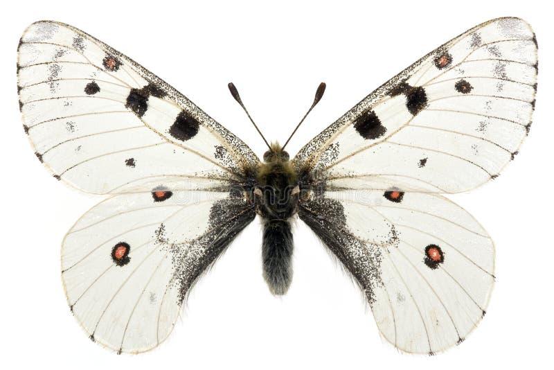 Phoebus van Parnassius stock afbeelding