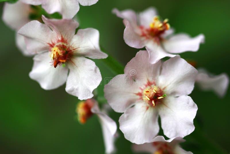 Phoeniceum do Verbascum imagens de stock