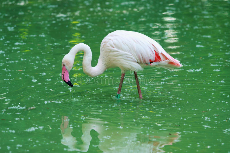 Phoenicopterus ruber roseus stock photo