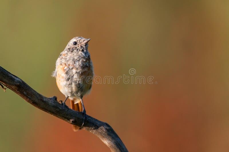 Phoenicurus común del Phoenicurus de Redstart de los jóvenes que se sienta en una rama imagen de archivo libre de regalías