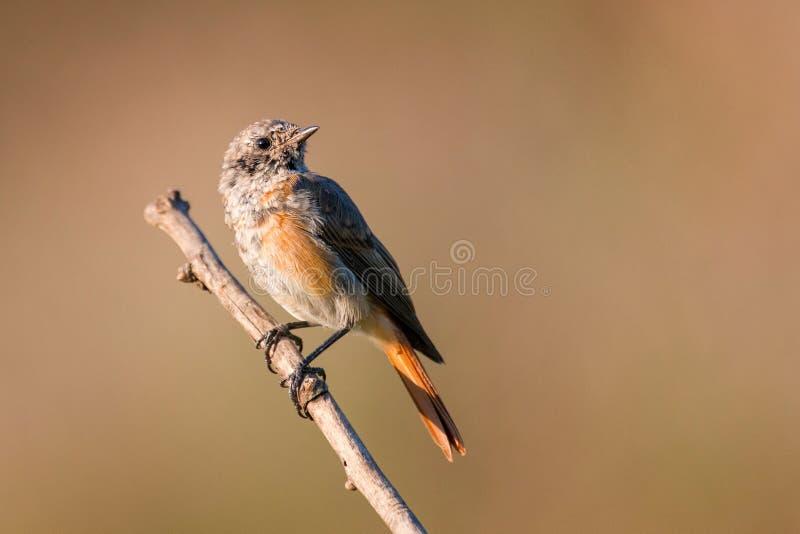 Phoenicurus comune del Phoenicurus di Redstart dei giovani che si siede su un ramo fotografie stock