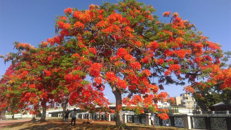 Phoenix blomma royaltyfria bilder