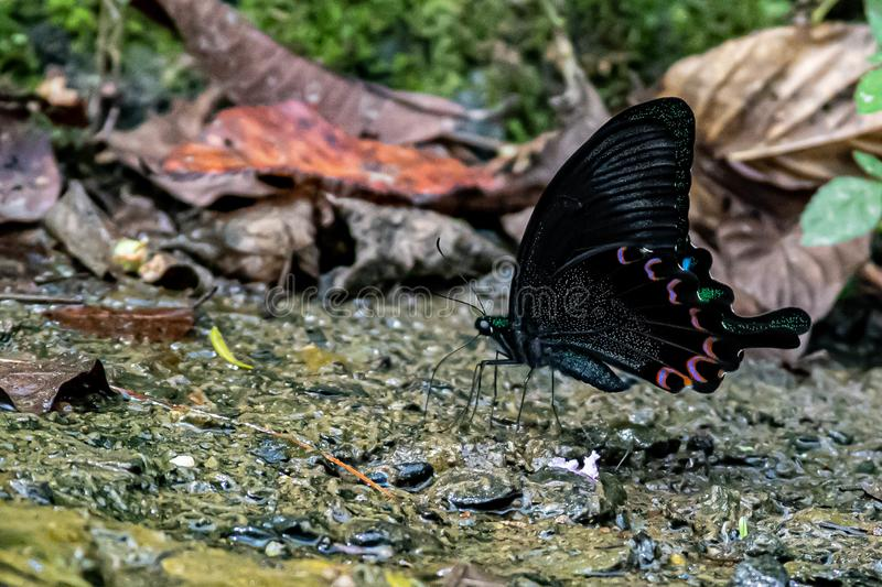 Phoenix butterfly hides in a beautiful pose in the mountains. Phoenix Butterfly absorbs water from uncontaminated mountainous areas, absorbs nutrients, creates stock images