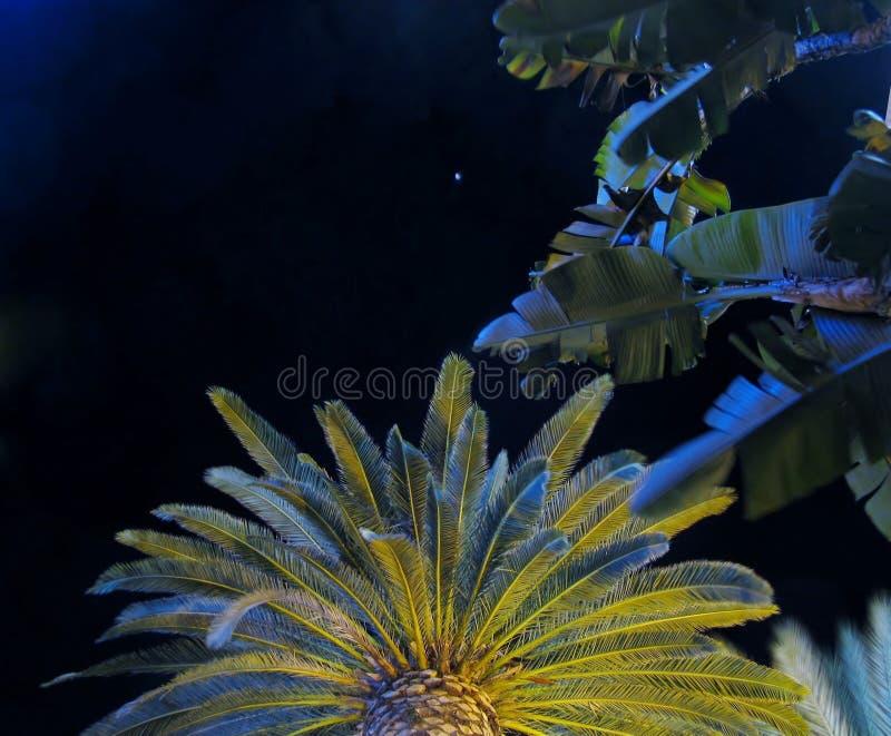 Phoenix Canariensis, kanariefågelön gömma i handflatan och bananslutet för bladpalmträdet upp på bakgrund för natthimmel royaltyfria bilder