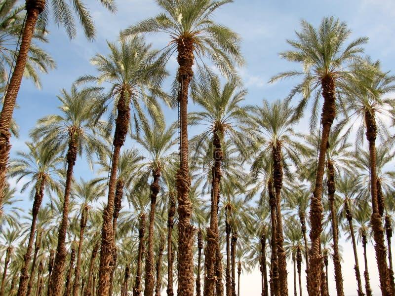 Phoenix dactylifera (date or date palm) palm tree plantation stock photo