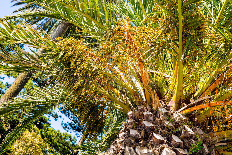 Phoenix dactylifera date palm tree unripe growing fruit royalty free stock images