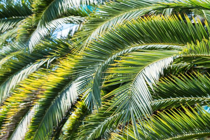 Phoenix palm tree leaves pattern in nature stock photos