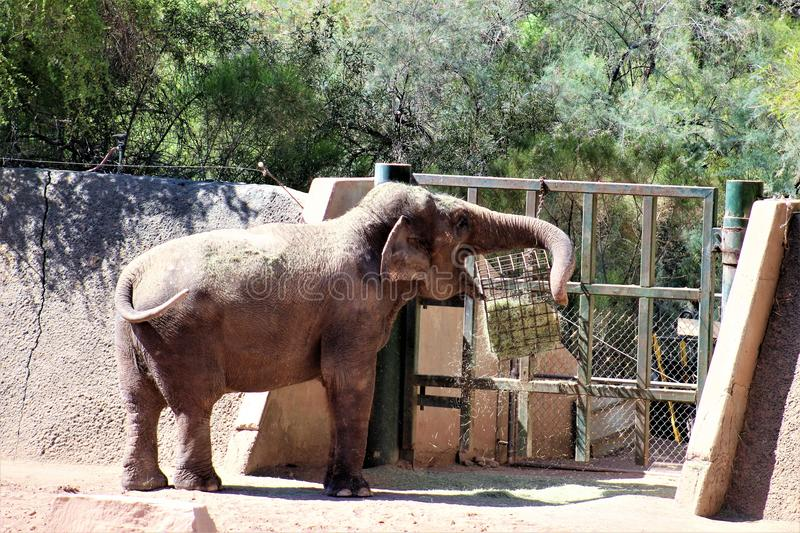 Phoenix Zoo, Arizona Center for Nature Conservation, Phoenix, Arizona, United States. Elephant at the Phoenix Zoo, Center for Nature Conservation, located in royalty free stock photos