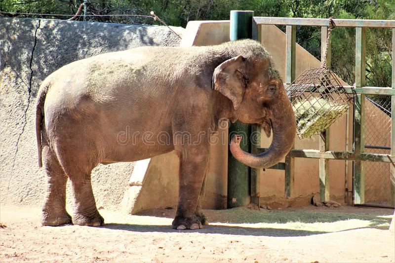 Phoenix Zoo, Arizona Center for Nature Conservation, Phoenix, Arizona, United States. Elephant at the Phoenix Zoo, Center for Nature Conservation, located in stock photography