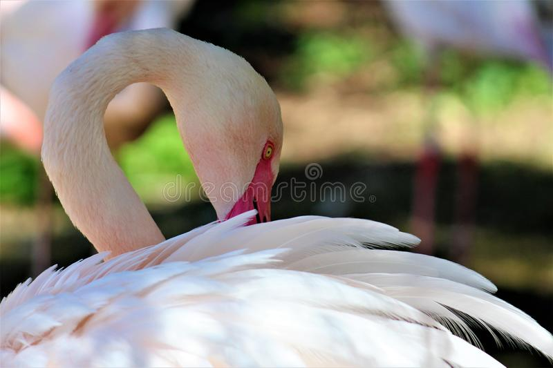 Phoenix Zoo, Arizona Center for Nature Conservation, Phoenix, Arizona, United States. Chilean flamingo at the Phoenix Zoo, Center for Nature Conservation stock image