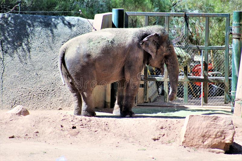 Phoenix Zoo, Arizona Center for Nature Conservation, Phoenix, Arizona, United States. Elephant at the Phoenix Zoo, Center for Nature Conservation, located in stock photo