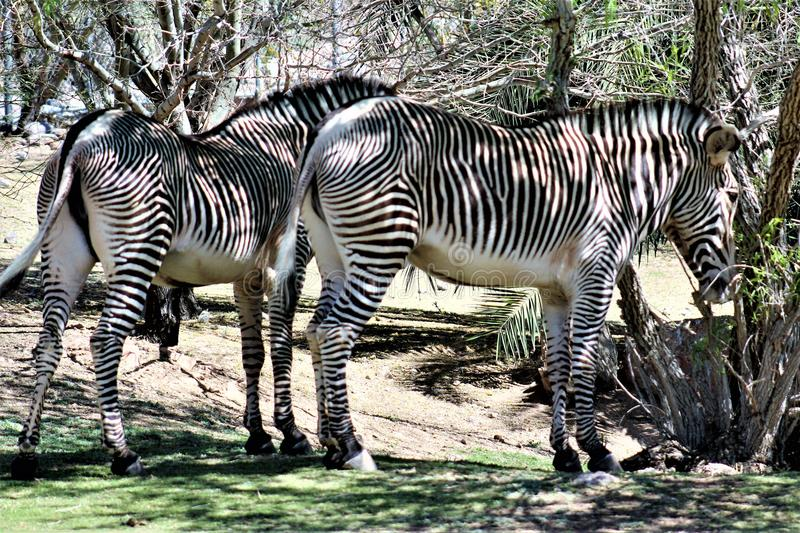 Phoenix Zoo, Arizona Center for Nature Conservation, Phoenix, Arizona, United States. Grevy`s Zebra at the Phoenix Zoo, Center for Nature Conservation, located stock photography