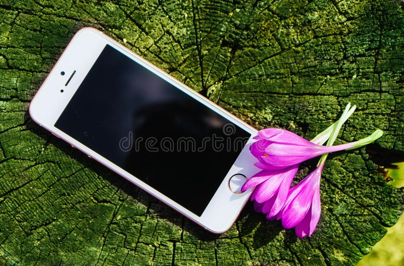 Phone at the natural environment, mock up with blossom violet first spring flowers, spring concept. stock images