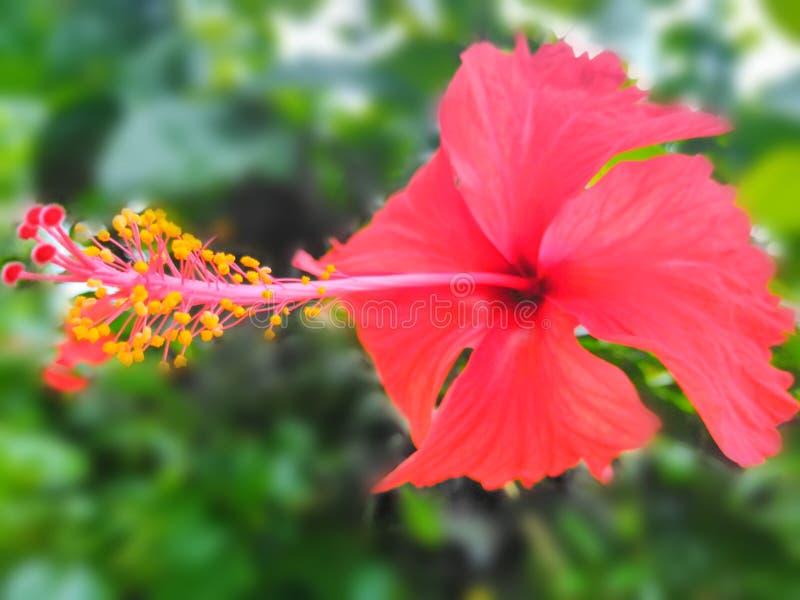 Phool Joba, изображение обоев предпосылки нерезкости цветка гибискуса стоковые изображения