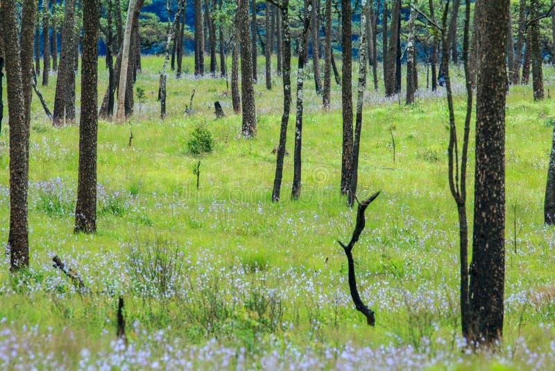 Phoosoidao国家公园的,泰国杉树庭院 库存照片