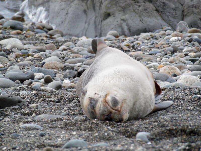 Phoque décontracté dormant sur le sien de retour image stock