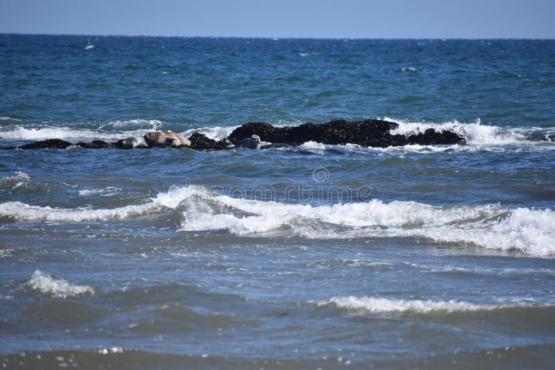 Phoque de port de la Californie, Phoca Vitulina Richardii, 1 images stock
