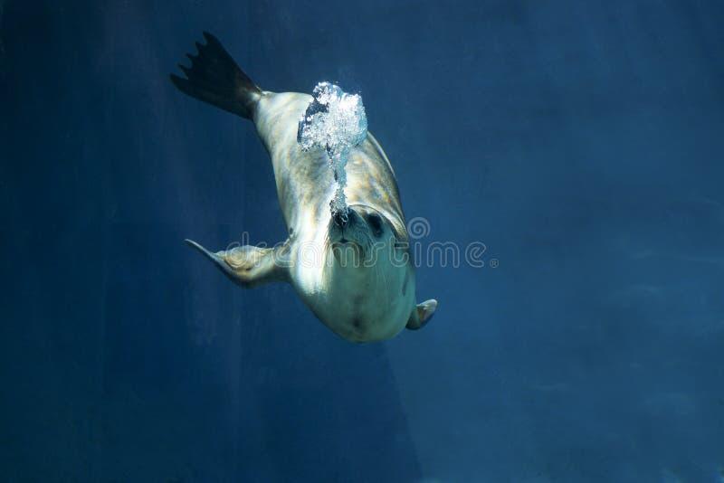 Phoque nageant sous l'eau photo stock