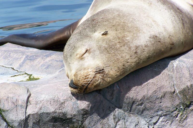 Phoque, sommeillant dans le soleil de midi photo stock