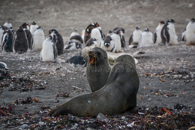 Phoques hurlant avec des pingouins à l'arrière-plan photographie stock libre de droits