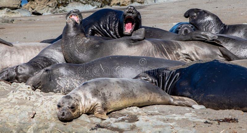 Phoques présentant sur la plage, une partie dormant et écorçant photo stock