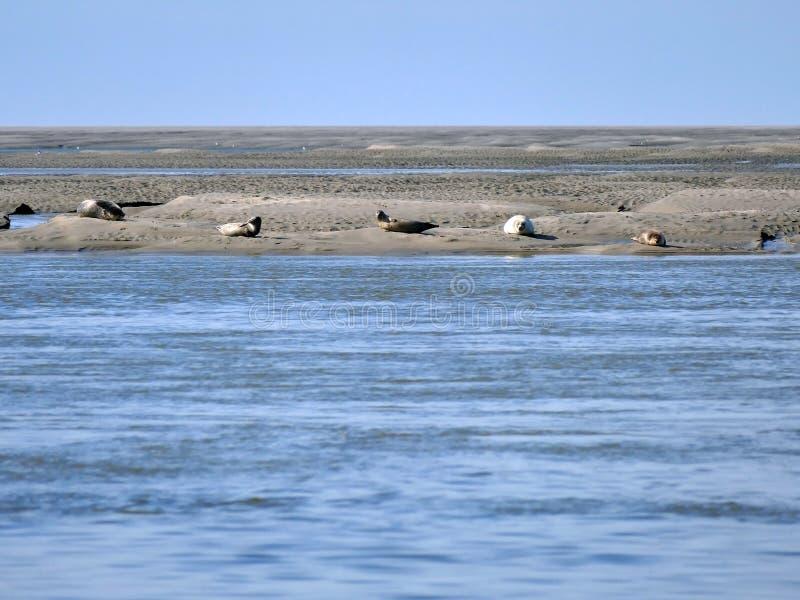 Phoques prenant un bain de soleil sur la banque de sable pour la c?te de la baie France de la Somme photo libre de droits