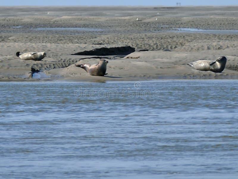 Phoques prenant un bain de soleil sur la banque de sable pour la c?te de la baie France de la Somme photo stock