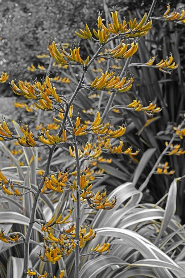 Phormium flowers against a monochromatic background. New Zealand Flax flowers Phormium contrasted with a monochromatic background stock photography
