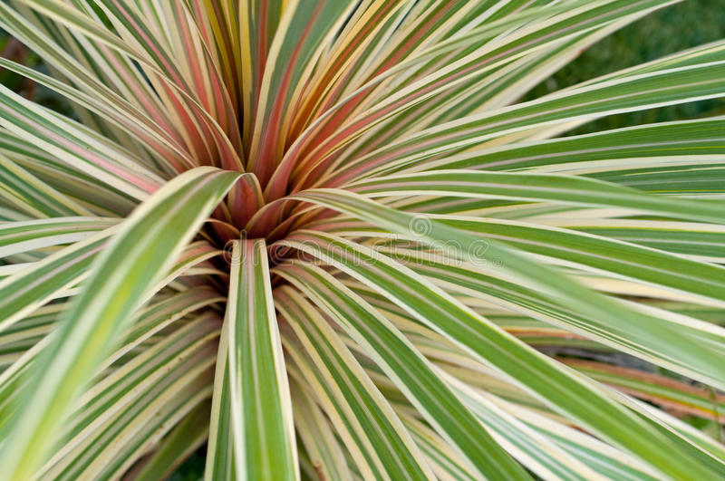 Phormium plant royalty free stock images