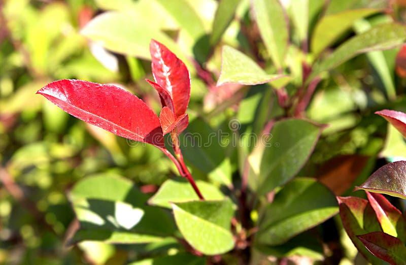 Photinia маленькое красное Робин Fraser стоковая фотография