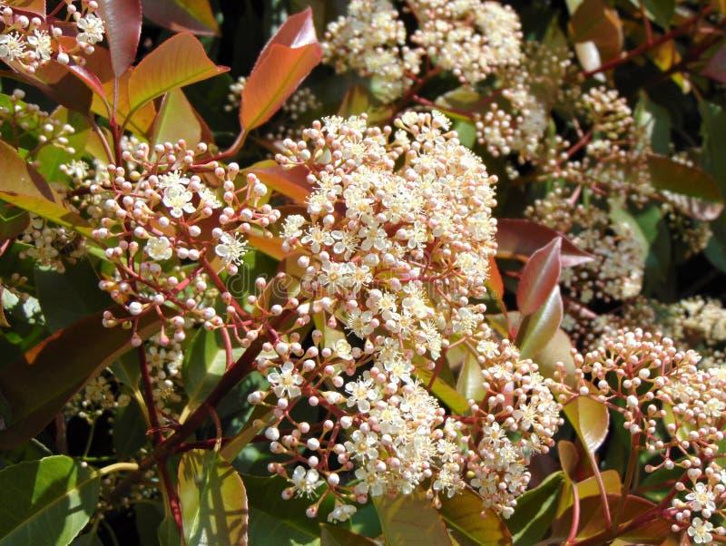 Photinia ou usine rouge de Robin au printemps, fond, fleur photos libres de droits