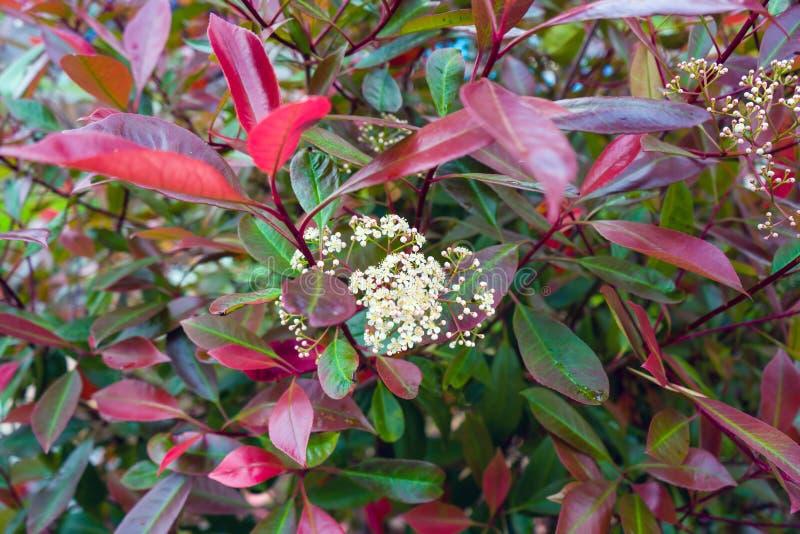Photiniahecke mit weißen Blumen im Garten lizenzfreie stockfotografie