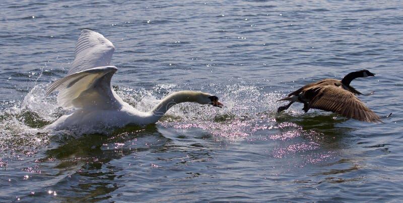 Photo étonnante avec un cygne fâché attaquant une oie de Canada photo stock