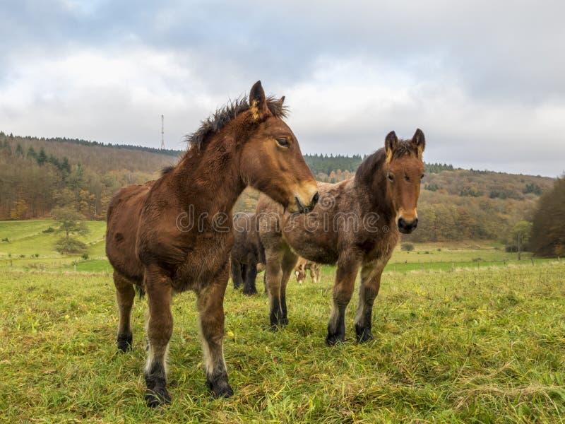 Photo étroite de deux poulains d'Ardennes dans un pré belge photos libres de droits