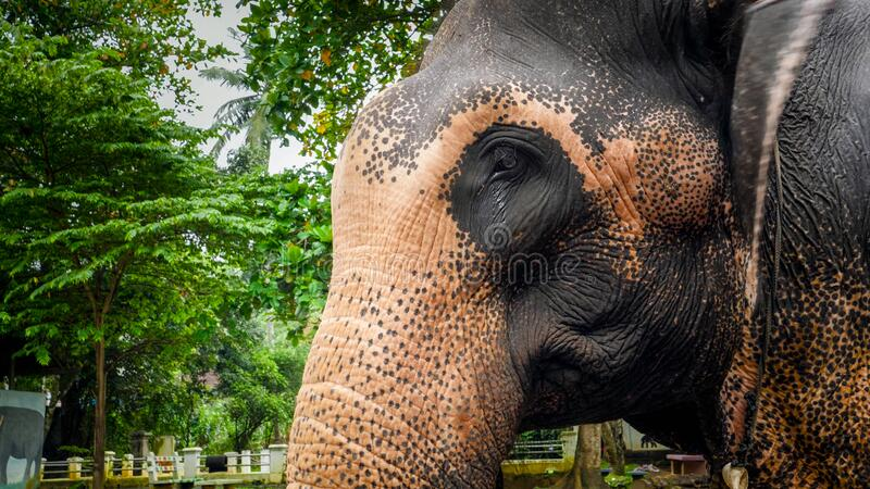 Image of adult indian elephant head against tropical rainforest jungle royalty free stock photos