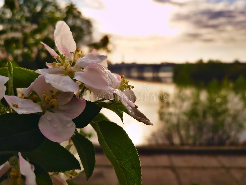 Photo of apple blossom on the background of a wide river Dnipro in Kiev and looking at the opposite bank and the bridge. After the rain stock image